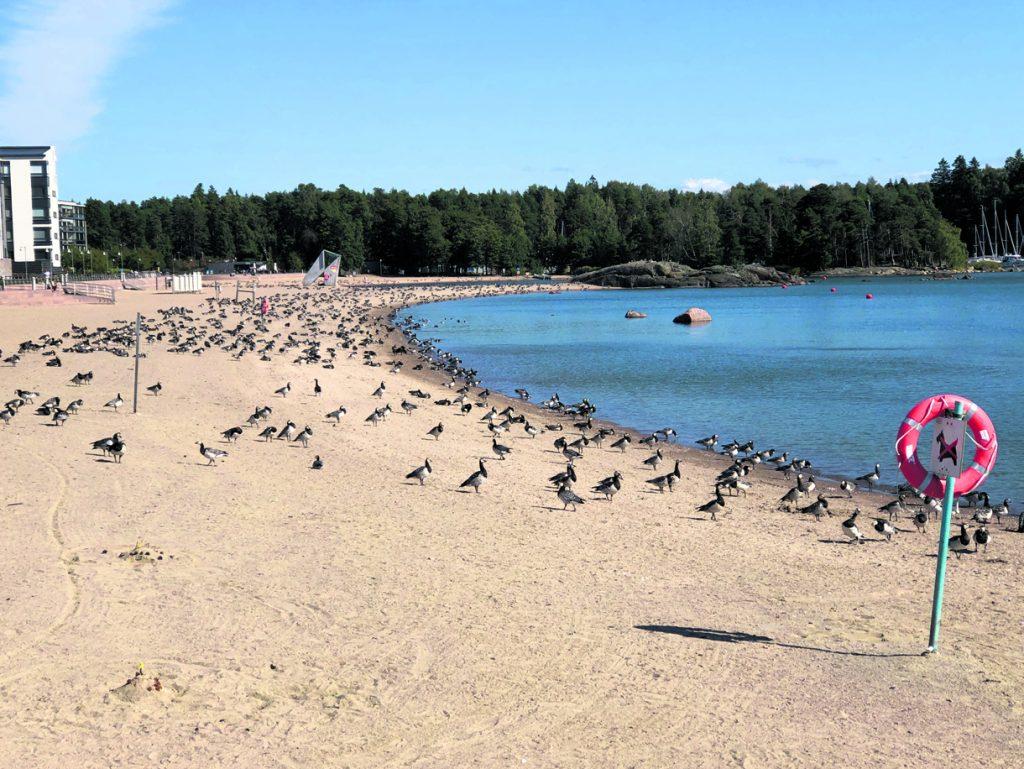Hanhia Aurinkolahden uimarannalla.             Kuva: Katja Karjalainen