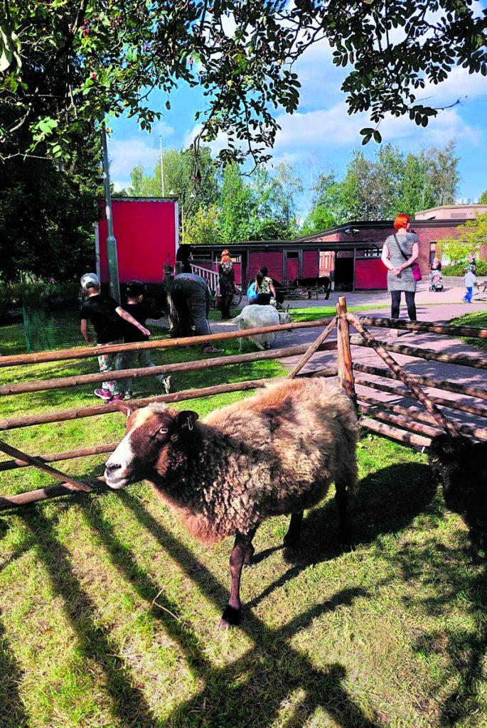 Päiväkoti Keulan 40-vuotissynttäreillä nähtiin lampaitakin. Lisää päiväkodista ja syntymäpäivistä sivulla 4. Kuva: Olga Rajala-Bayoglu