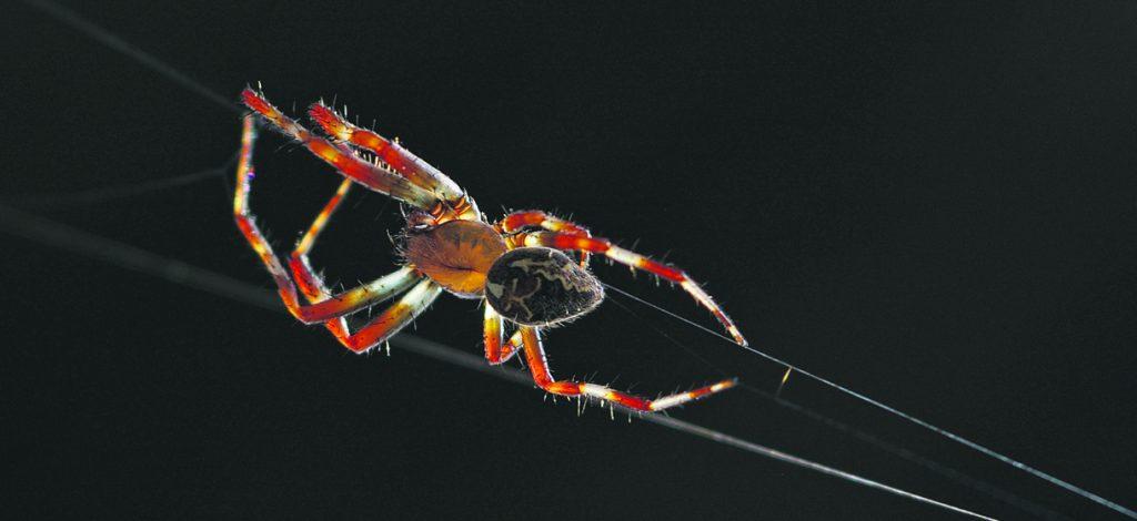 Ristihämähäkki aloittaa jokapäiväisen verkon kutomisensa.