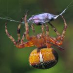 Ristihämähäkki – vahvan verkon kutoja