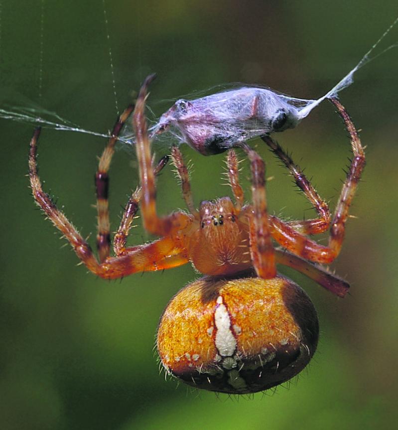 """Hämähäkki """"paketoi"""" saaliinsa ja aloittaa ruokailun, uusi verkko joka päivä."""