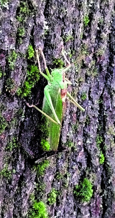 Yli 10-senttinen hepokatti puussa Haapasaarentiellä.    Kuva: P.P.