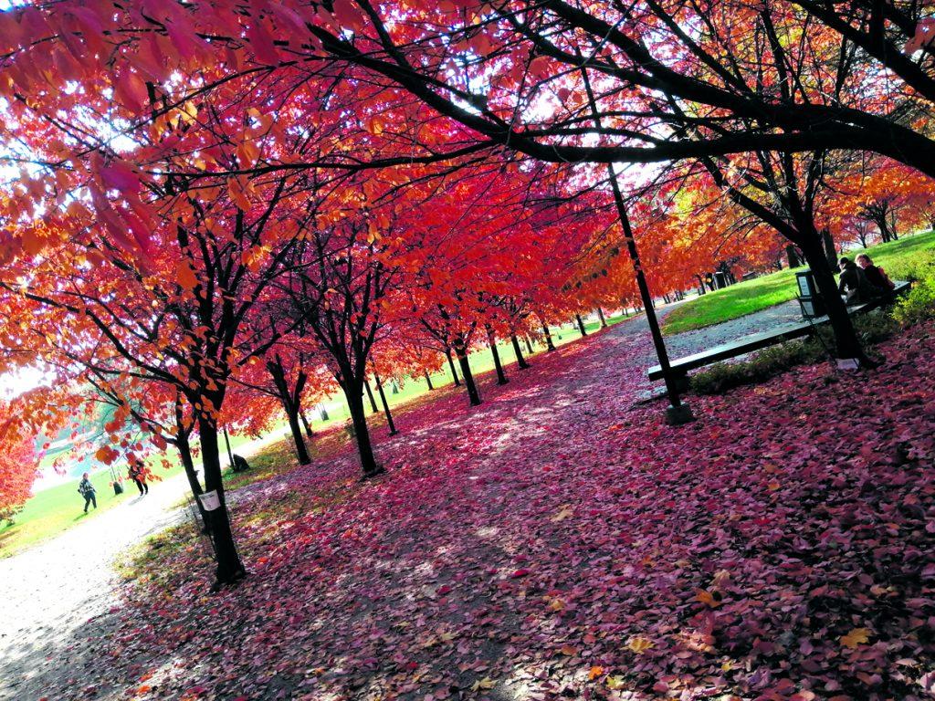 """Kuvassa Roihuvuoren kirsikkapuiston syksyistä väriloistoa. Kirsikkapuista voi siis nauttia muulloinkin kuin kevään kukinta-aikaan. Tällainen puisto Vuosaareenkin, omenapuupuistokin kelpaa!   Terveisin """"Lisää luonnontaidetta"""""""