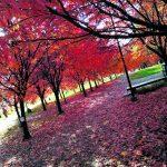Kirsikkapuut upeita syksylläkin